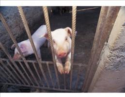 Pig Homeschool